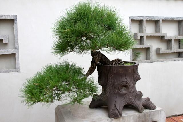 一组关于松树的盆景图片,与大家共享!