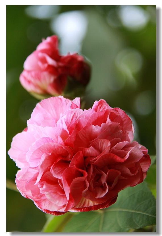 其商标形象即是一朵盛开的芙蓉花