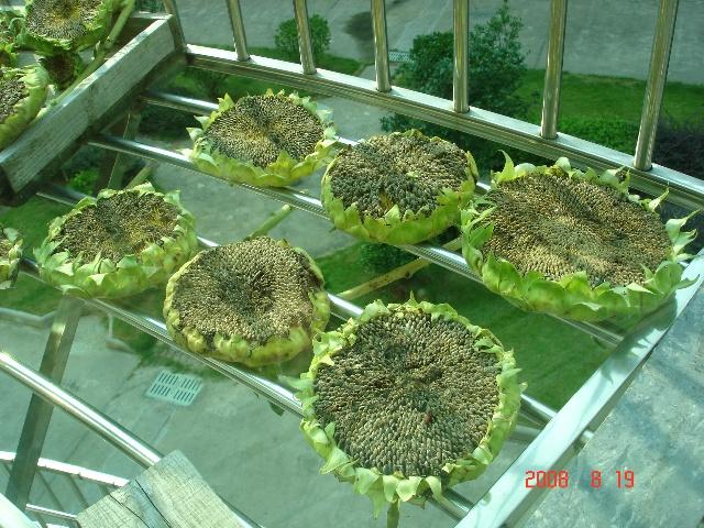 绿茄子的生长过程(37) 胡萝卜的生长过程-紫茄子的生长过程 27