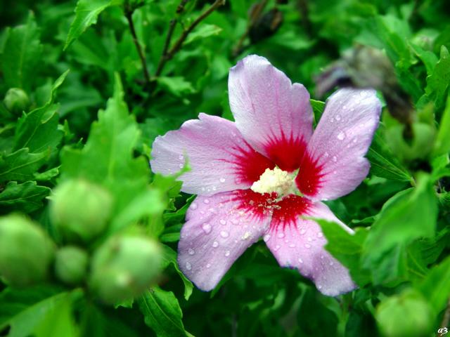 韩国国花---木槿花