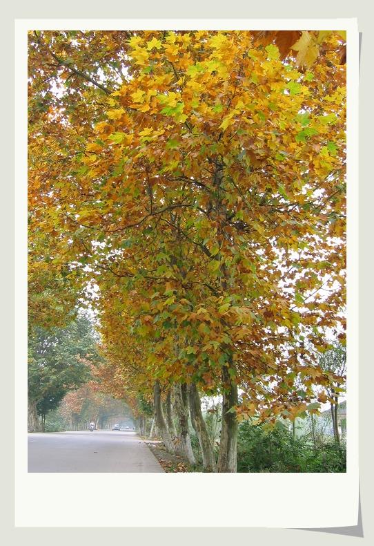 梧桐树的叶子本来不是红的