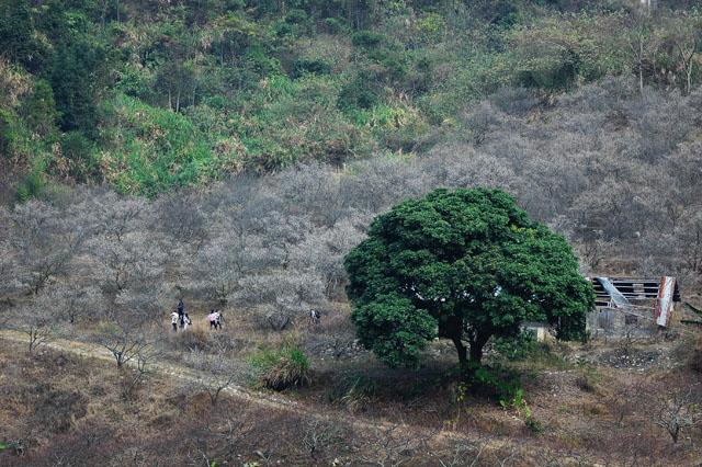 惠州市东北部惠东县梁化镇-御景峰国家森林公园赏梅
