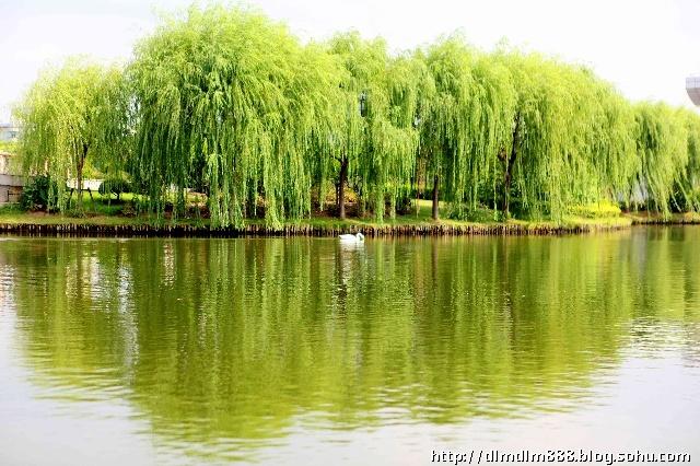 照片解读:静静的湖边,白天鹅正在寻寻觅觅,湖边上嫩绿,婆娑的柳树倒影