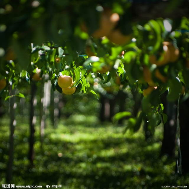 有组织就是好。组织安排我们去采摘苹果,感受秋天收获的喜悦。 我迅速地梳理了一下我的采摘历史。 花应该是摘过,如果是在公园里,还是违规行为。 今年春天摘过草莓,因为采摘环境的特殊性,也从最初的喜悦变成蛮痛苦的回忆。 我妈花园里种的石榴、柿子,倒有寥寥几个果实,但家里园艺志愿者太多,根本轮不到我下手。 在前往苹果园的路上,我的脑海中不停地闪现着,高低起伏的小坡,绿色的草地,错落有致的苹果树,挂满枝头的红苹果,穿着花围裙摘苹果的漂亮姑娘。 到达目的地,下车。每人发一个纸箱子,好家伙!低矮的果树,密密地紧挨着,猫
