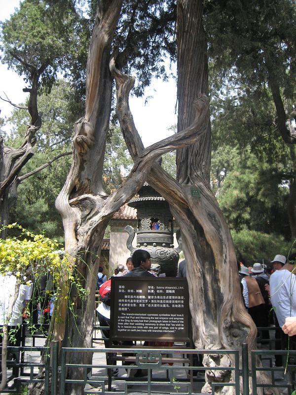 进入御花园,有多处松柏树连理枝