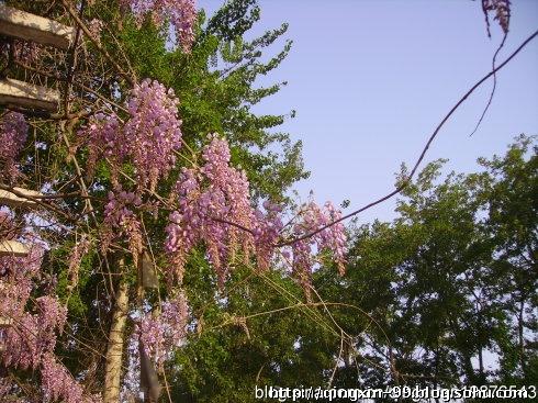 紫藤的花和种子可供食用;树皮纤维可织物;根和种子可杀虫;果实入药,治