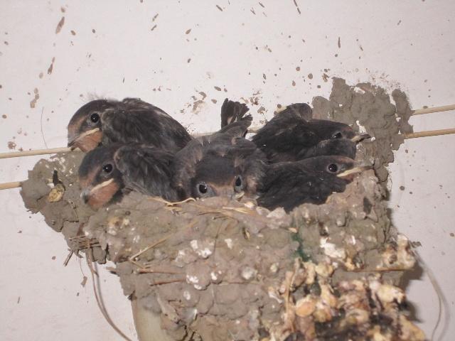 燕子筑巢(三)小燕子羽毛长齐了